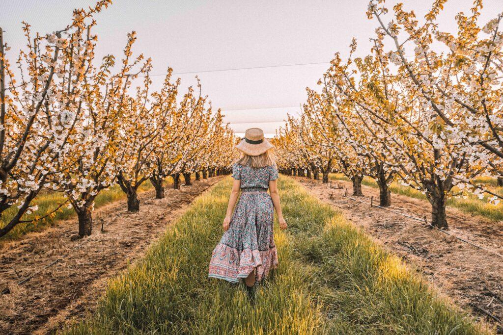 Lady walks through cherry tree plantation in spring